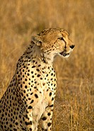 Male Cheetah Portrait. Masai Mara National Reserve, Kenya