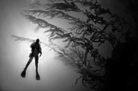 Diver in sun with kelp.