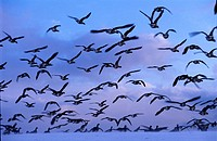 Texel, wintertime, brent geese flying off the Wadden dike