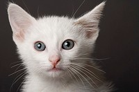 White kitten in studio, close-up