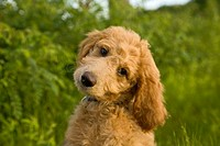 Labrador Poodle mixed breed dog, sometimes called a labradoodle