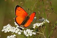 Small copper butterfly  Joensuu, Finland