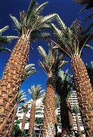 Israel, Eilat, palm trees