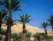 Israel, Jerusalem, Ein Gedi oasis, palm trees
