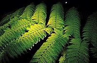 Reunion, tree fern backlighted at night