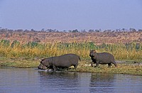 Hippopotamus,Hippopatamus amphibius,Chobe Nationalpark,Botswana,Africa,adult female with subadult going into the water