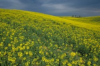 France, Provence, hill covered with yellow flowers
