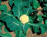 Cauliflower, Brassica, oleracea, var , botrytis,