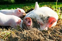 Mini, Pigs, sow, nursing, piglets