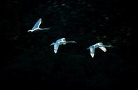 Mute, Swans, biosphere, preserve, Elbe, Saxony-Anhalt, Germany, Cygnus, olor, side