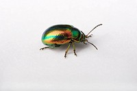 Dead-nettle, Leaf, Beetle, Germany, Chrysolina, fastuosa,