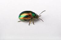 Dead-nettle, Leaf, Beetle, Germany, Chrysolina, fastuosa,