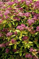 Meadowsweet, , ´Hubert, Gold´, Spiraea, japonica,