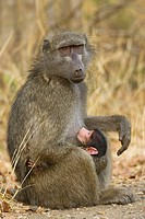 Chacma Baboon (Papio ursinus). Female with suckling young. Kruger National Park, South Africa.