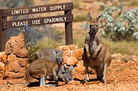Red, Kangaroos, at, watering, hole, Australia, Macropus, rufus, Megaleia, rufa,