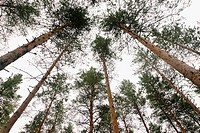 Trees, forest in Lapland, north of Finland