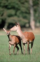 Red, Deer, female, with, young, Cervus, elpahus