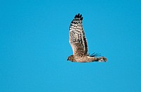 Hen, Harrier, female, national, park, wadden, sea, Schleswig-Holstein, Germany, Circus, cyaneus, side