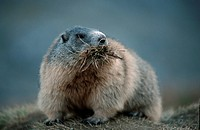 Alpine, Marmot, making, hay, national, park, Hohe, Tauern, Austria, Marmota, marmota, Alps