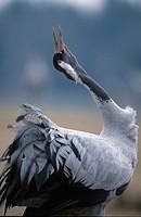 Common, Crane, calling, Lake, Hornborga, Sweden, Grus, grus
