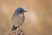 Scrub, Jay, national, park, Arches, Utah, USA, Aphelocoma, coerulescens