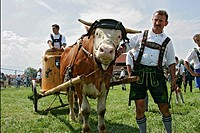 Men, with, ox, at, the, oxen, race, Bichl, Bavaria, Germany