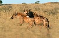 Spotted Hyena Crocuta crocuta Pair Running Through the Bushveld  Kgalagadi Transfrontier Park, Northern Cape Province, South Africa