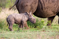 White Rhinoceros Ceratotherium sim Calf with its Mother  Hluhluwe Umfolozi Park, Kwa-Zulu Natal Province, South Africa