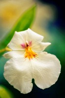 White Miltoniopsis Orchid. Miltonia hybrid. September 2006, Maryland, USA