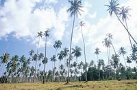 Palm Tree Forrest  Zanzibar, Tanzania, East Africa
