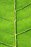 Extreme Close-Up of the Veins in a Hydrangea Hydrangea macrophylla Leaf  Studio Shot
