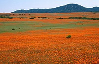 Fields of Wild Flowers in Kamieskroon  Northern Cape Province, South Africa