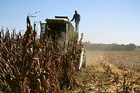 Combine Harvester Harvesting Maize  Dundee Farm, KwaZulu Natal Province, South Africa