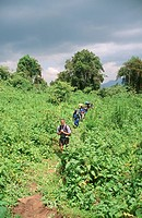Tourists Trekking Through Lush Mountain Landscape  Virunga Mountains, Rwanda, Central Africa