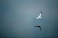 Pink-backed Pelican Pelecanus rufescens Flying Over Water  Okavango Delta, Botswana, Africa