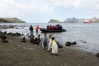 King Penguins Aptenodytes patagonica with Tourists Landing in the Background  South Georgia Island, South Atlantic Ocean
