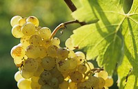 Semillon grapes, Entre-deux-Mers, France