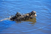Paraquay Caiman,Caiman yacare,Pantanal,Brazil,adult,swimming,in water,Portrait
