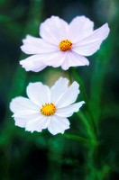 Two Cosmos Flowers. Cosmos bipinnatus. October 2006. Maryland, USA