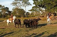 Pantanal Cowboy,Pantaneiro,Horse,Pantaneiro Horse,Pantanal,Brazil,riding,cattle drive