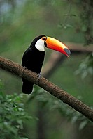 Toco Toucan,Ramphastos toko,Pantanal,Brazil,adult,on tree