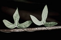 Ivy on a branch (thumbnail)