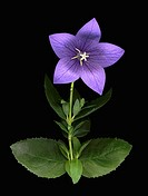 Peach-leaved bellflower (thumbnail)