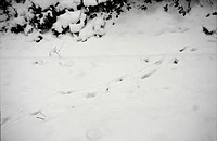 deer track in snow