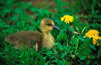 anser anser / greylag goose