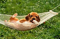 half-breed puppy in hammock