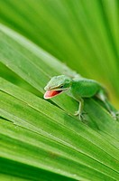 Anole lizard eating cricket