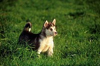 Husky - puppy standing on meadow