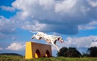 Dalmatian dog - puppy