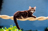 Maine Coon on a rope